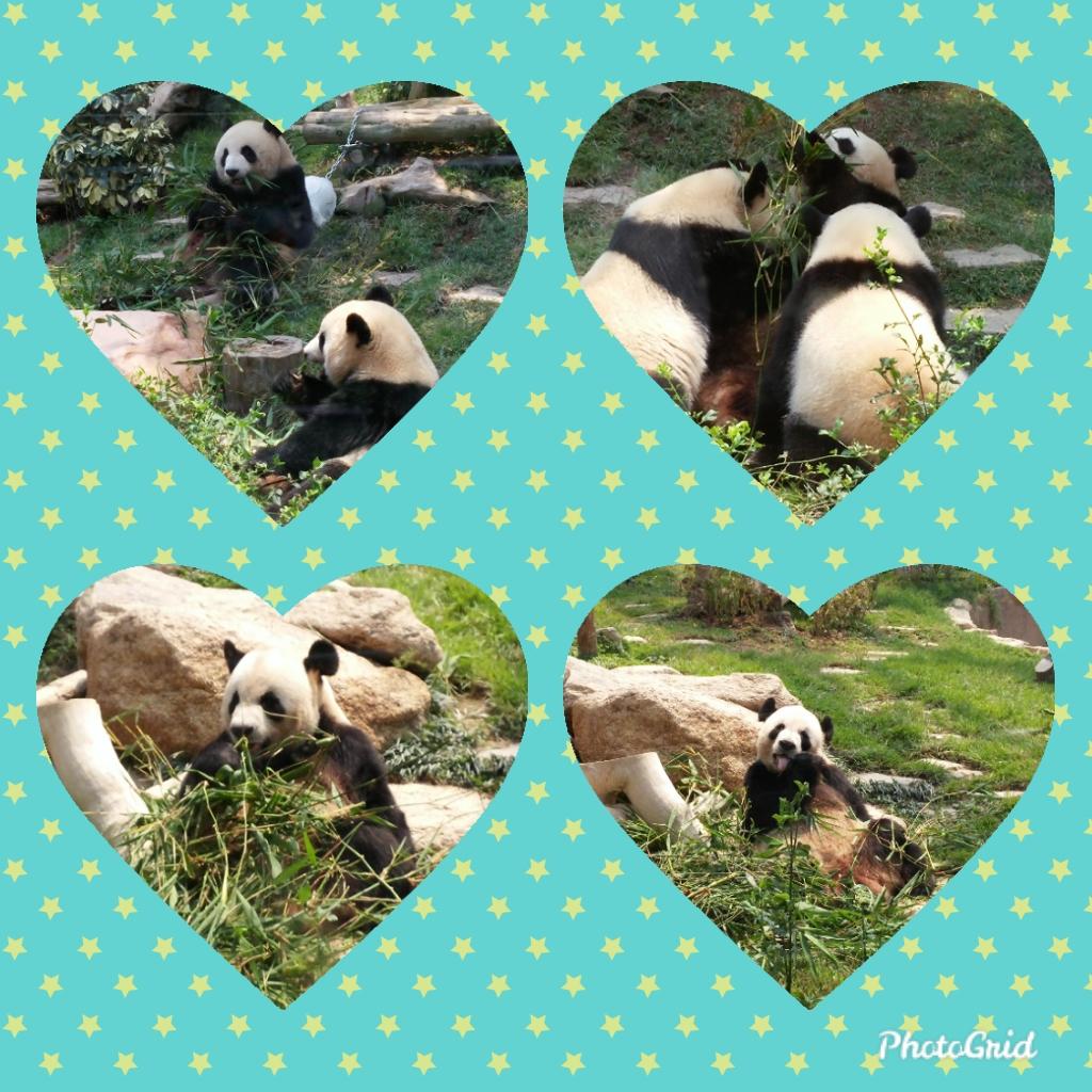 Panda family in Macau Panda Gallery
